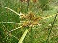 Starr 080605-6677 Cyperus polystachyos.jpg