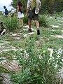 Starr 080613-8794 Chenopodium oahuense.jpg