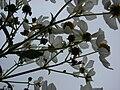 Starr 081230-0661 Montanoa hibiscifolia.jpg