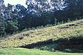 Starr 990107-3129 Acacia mearnsii.jpg