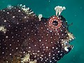 Starry blenny (Salarias ramosus) (26376182548).jpg