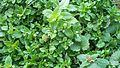 Stellaria media - flowers.JPG