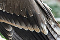 Steppe Eagle close up.jpg