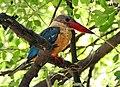 Stork-billed Kingfisher I IMG 7659.jpg