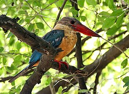 Stork-billed Kingfisher I IMG 7659
