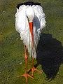 Stork لک لک 09.jpg