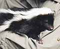Striped skunk (1).jpg