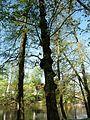 Strom jako žebřík u Rantejchu.JPG