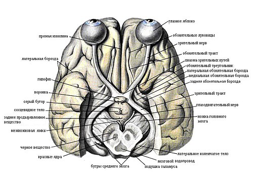 Structures of brain
