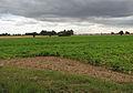 Sugar beet - geograph.org.uk - 906695.jpg
