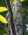 Sulawesi hawk eagle juvenile calling - Flickr - Lip Kee.jpg