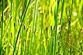 Summer River Grasses (2620910418).jpg