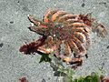 Sunflower seastar - Flickr - brewbooks.jpg