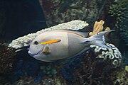 Surgeonfish