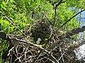 Swainson's hawk nest, on a wetland in Cascade County, June 2017 (25210702938).jpg