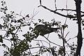 Swallow-tailed Kite (Elanoides forficatus) (14925592736).jpg