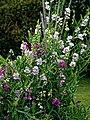 Sweet pea Lathyrus odoratus at Easton Lodge Gardens, Little Easton, Essex, England 2.jpg