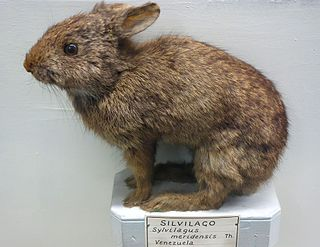 Tapeti Species of mammal