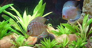 Two common discus varieties: one the left a 'Red Turquoise' and on the right a 'Blue Diamond'