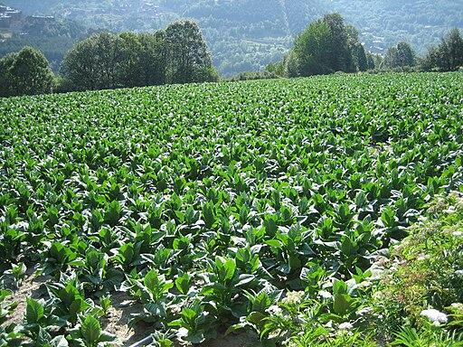 Tabaksveld in Sispony