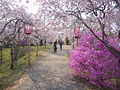 Takebenomori-sakura.JPG