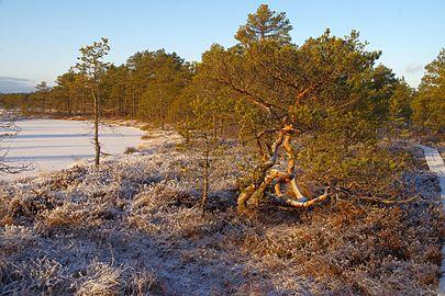 Talv Kõnnu Suursoos4.jpg