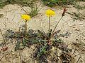 Taraxacum serotinum sl15.jpg