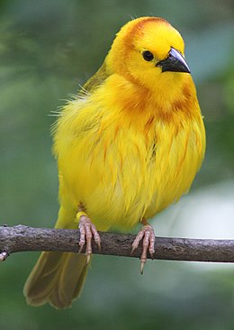 Taveta Golden Weaver 001.jpg