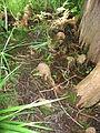 Taxodium distichum pneumatophore 01 by Line1.jpg