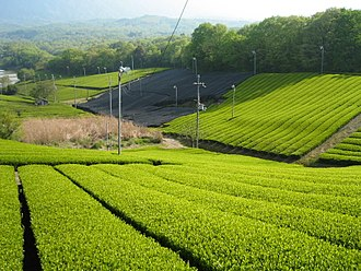 Uji tea - A green tea plantation in Minamiyamashiro, Kyoto
