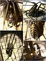 Tegenaria cf. gigantea male (5934131665).jpg