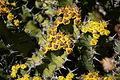 Teguise Guatiza - Jardin - Euphorbia barnardii 04 ies.jpg