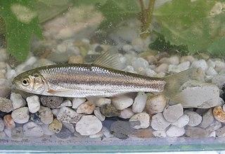 <i>Telestes pleurobipunctatus</i> Species of fish