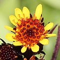 Tephroseris takedana (flower) - cropped.jpg