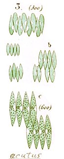 <i>Scenedesmus obliquus</i> Species of green algae
