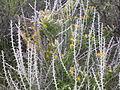 Tetradymia spinosa 001 — Matt Lavin.jpg