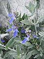 Teucrium fruticans Azureum (8936614877).jpg