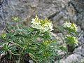 Teucrium montanum.jpg