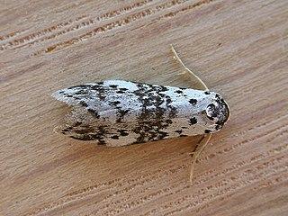 <i>Thallarcha</i> Genus of moths
