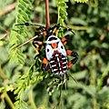 Thasus gigas (Family Coreidae) - nymph.jpg
