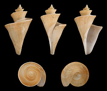 Japanese Wonder Shell ; Lenght 7,5 cm; Originating from Japan