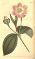 The Botanical Magazine, Plate 451 (Volume 13, 1799).png