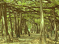 The Great Banyan Tree.jpg
