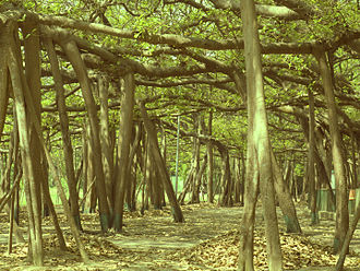 Acharya Jagadish Chandra Bose Indian Botanic Garden - Beneath the Great Banyan Tree. The supporting branches are part of the tree's extensive root system.