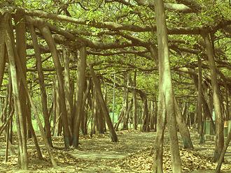 Acharya Jagadish Chandra Bose Indian Botanic Garden - The Great Banyan Tree from under itself.