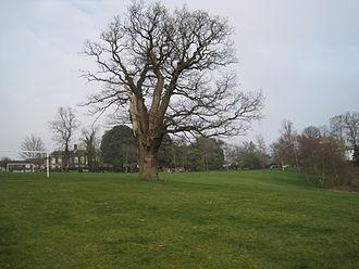 The Mill Field - Oak tree in The Mill Field