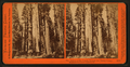 The Mother of the Forest, through the Torrey Group, Mammoth Grove, Calaveras Co., Cal, by Watkins, Carleton E., 1829-1916.png