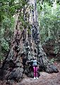 The Old Tree at Portola Redwoods State Park.JPG