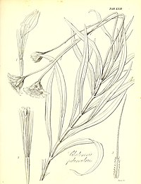 C. peduncularis