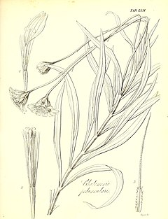The botany of Captain Beechey's voyage; comprising an acount of the plants collected by Messrs. Lay and Collie, and other officers of the expedition, during the voyage to the Pacific and Behring's (19783080274).jpg